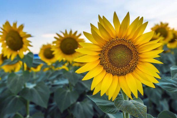sun-vault-placeholder-sunflower-1400-sm